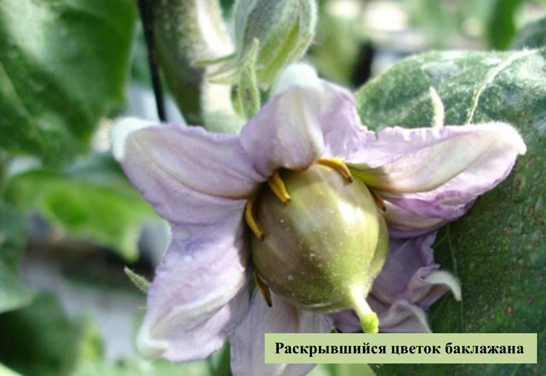 Раскрывшийся цветок баклажана