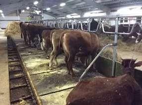 Расположение коров в длинных стойлах