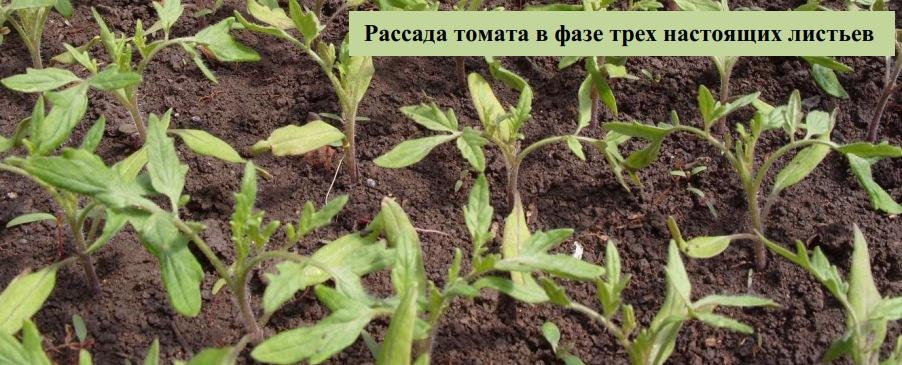 Рассада томата в фазе трех настоящих листьев