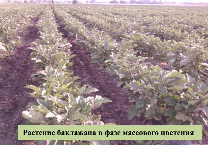 Растение баклажана в фазе массового цветения