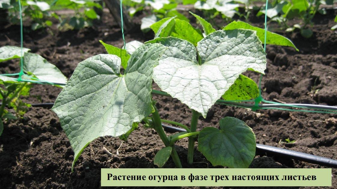 Растение огурца в фазе трех настоящих листьев