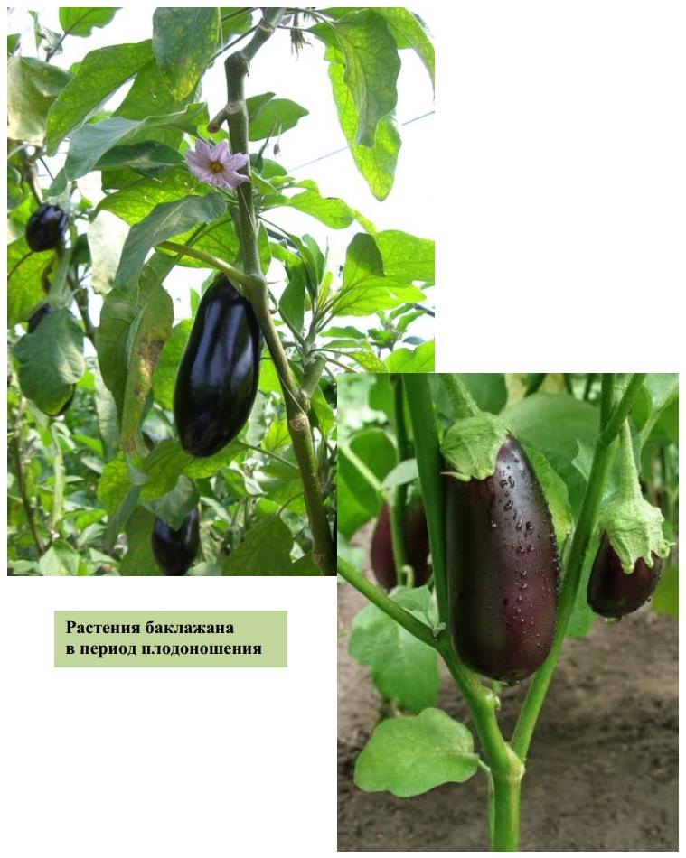 Растения баклажана в период плодоношения