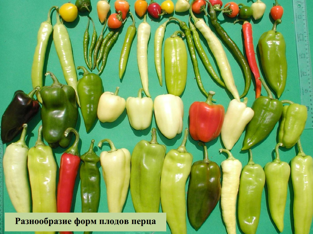 Разнообразие форм плодов перца