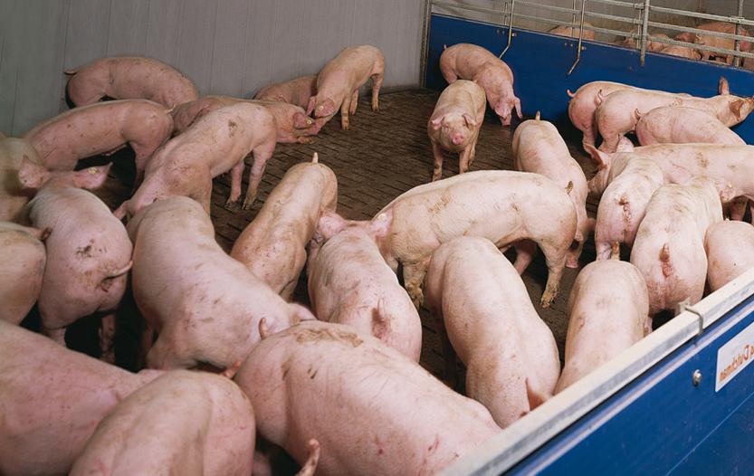 Содержание и кормление свиней различных половозрастных групп