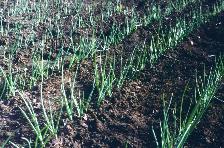Способ посадки севка лука репчатого