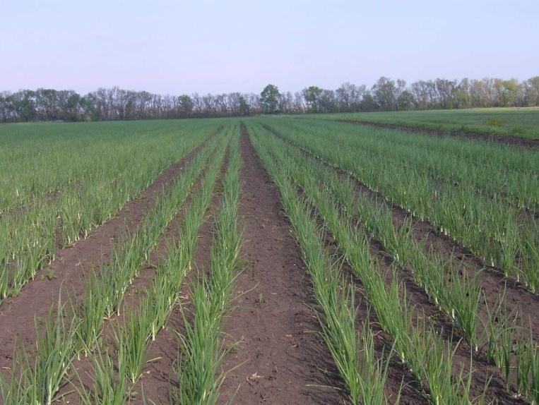 Способ посадки севка лука – трехстрочный