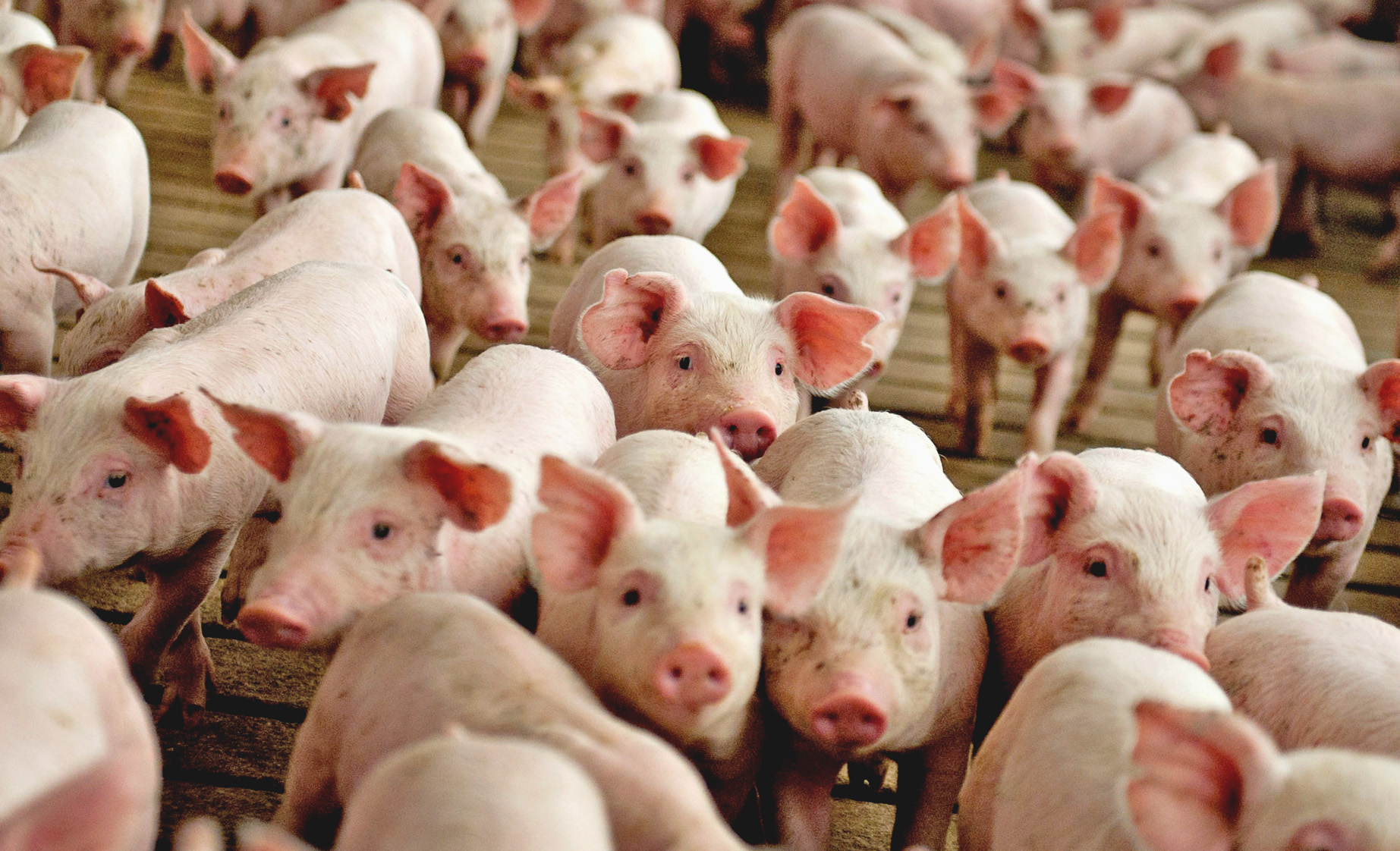 Свиноводство. Решение мясной проблемы