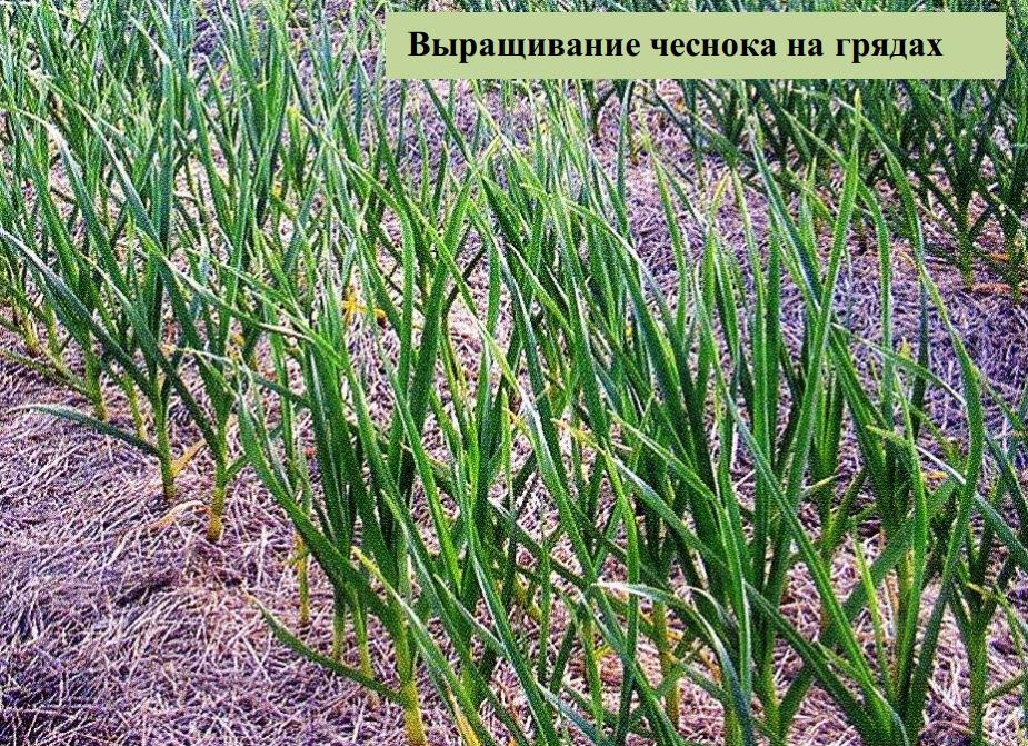 Выращивание чеснока на грядах