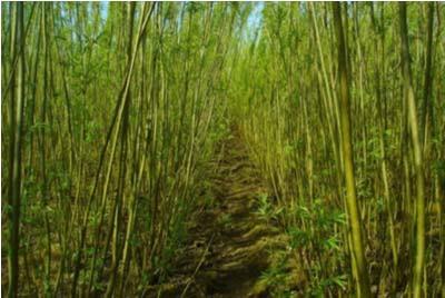 Выращивание ивы в качестве древесного топлива