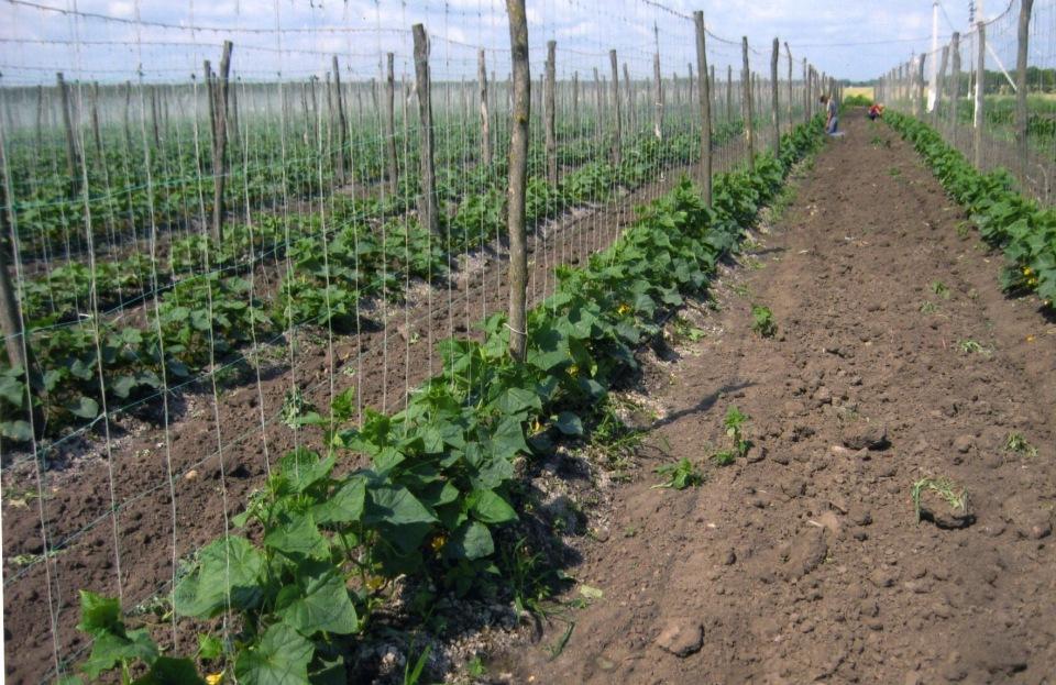 Выращивание огурца на шпалере из сетки