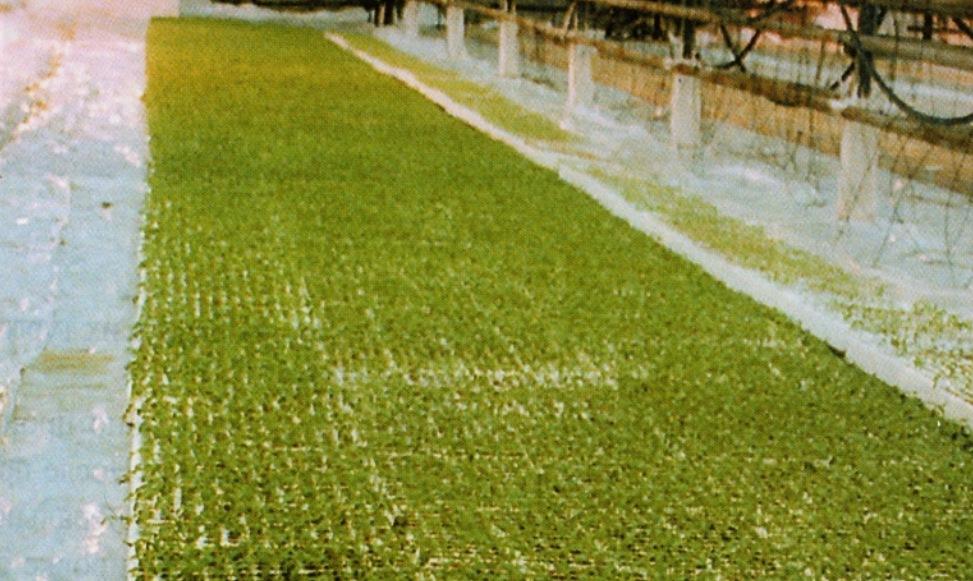 Выращивание сеянцев перца в кассетах в рассадном отделении
