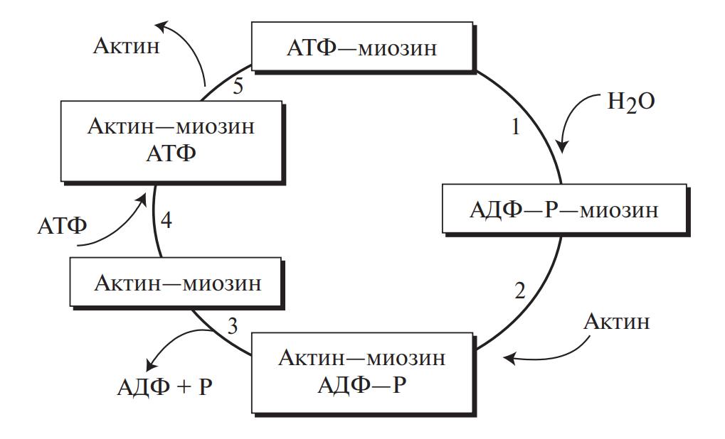 Цикл мышечного сокращения