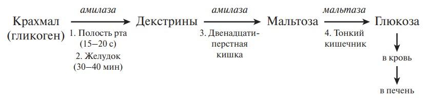 Этапы переваривания