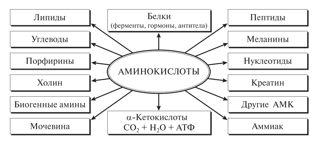 функции аминокислот в организме