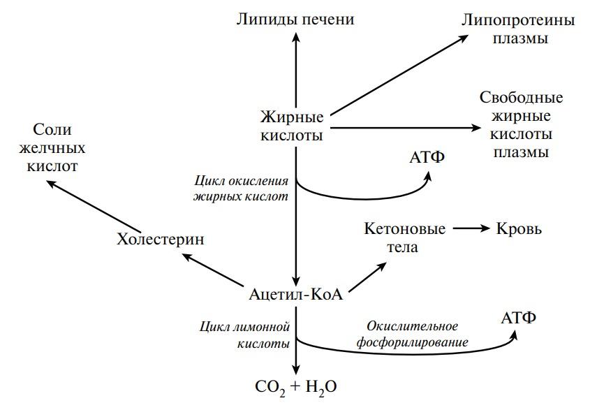 Обмен жирных кислот в печени