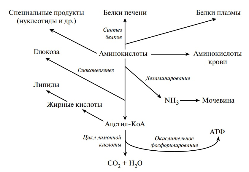 Пути превращения аминокислот в печени