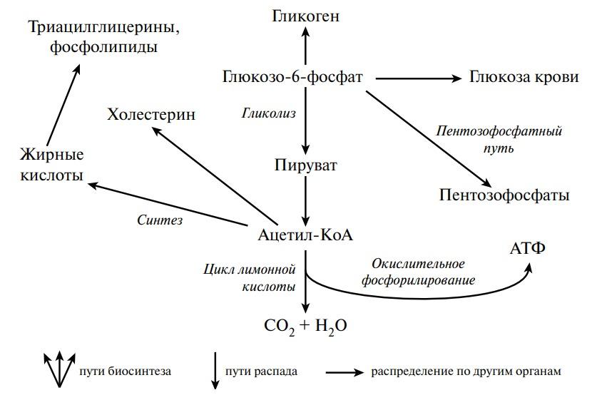 Пути превращения глюкозо-6-фосфата в печени