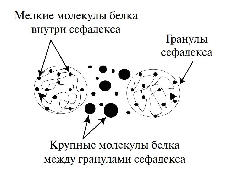 Распределение молекул белка среди гранул сефадекса