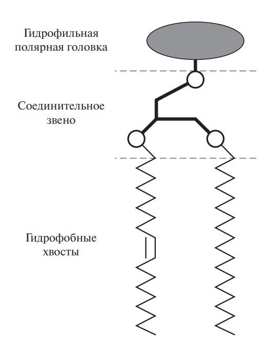 Схема наиболее вероятной структуры фосфолипидов