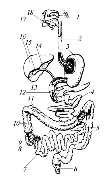 Схема пищеварительного аппарата