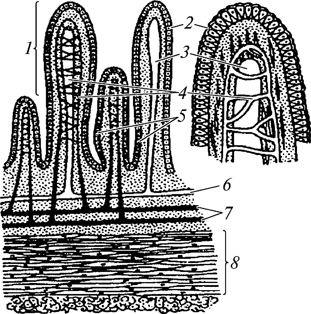 Схема строения ворсинок слизистой тонкого кишечника