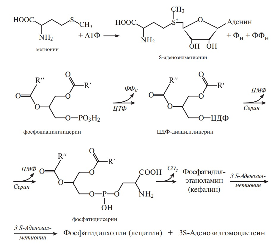 синтез глицерофосфолипидов