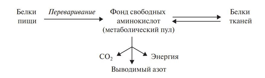 Стационарное состояние обмена белков