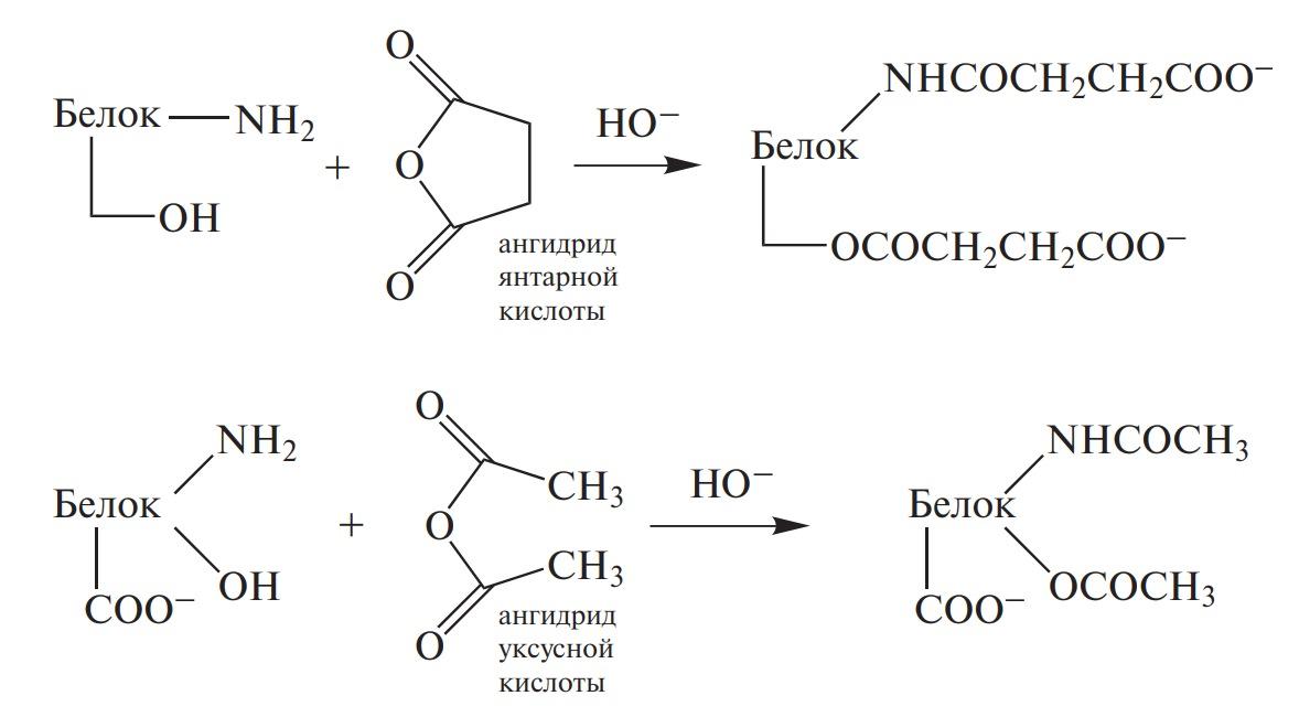Сукцинилирование и ацетилирование