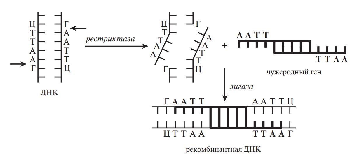 Введение гена в ДНК модифицируемого растения
