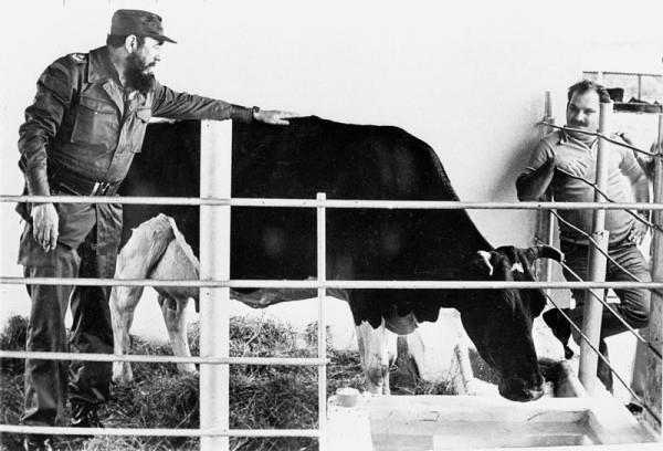 Фидель Кастро со знаменитой коровой Убре Бланка
