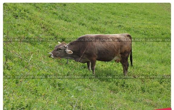 Корова бурой карпатской горной породы