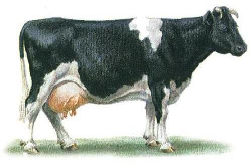 Корова черно-пестрой эстонской породы