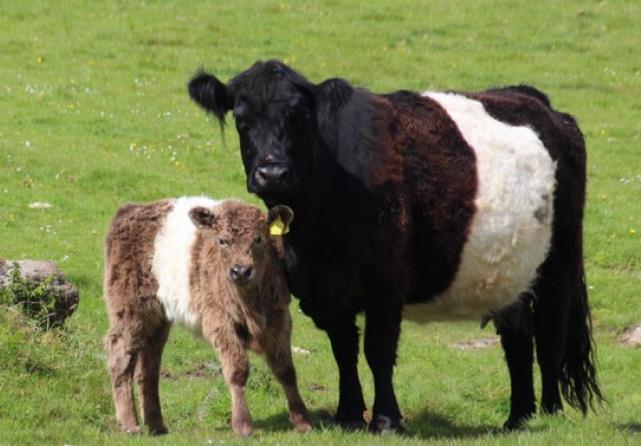Корова галловейской породы с теленком