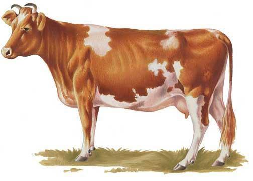 Корова гернзейской породы