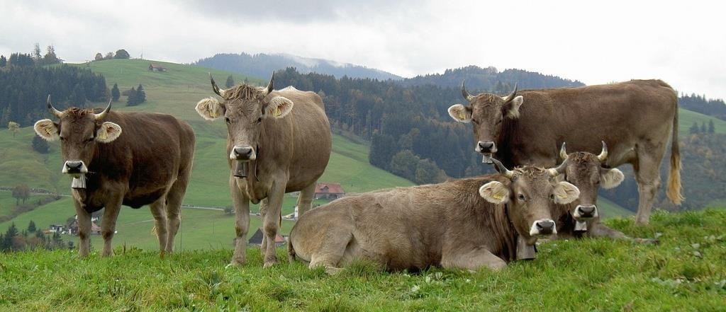 корова швицкой породы