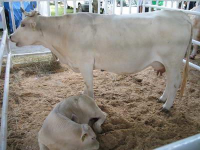 Корова украинской мясной породы с теленком