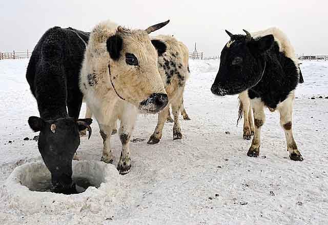 Коровы якутской породы