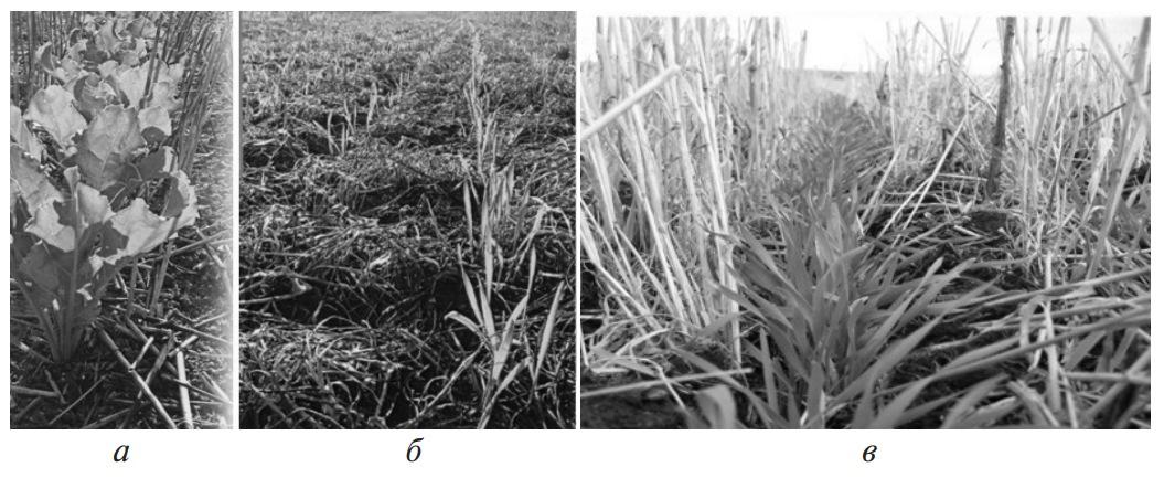 Посевы при нулевой системе обработки почвы