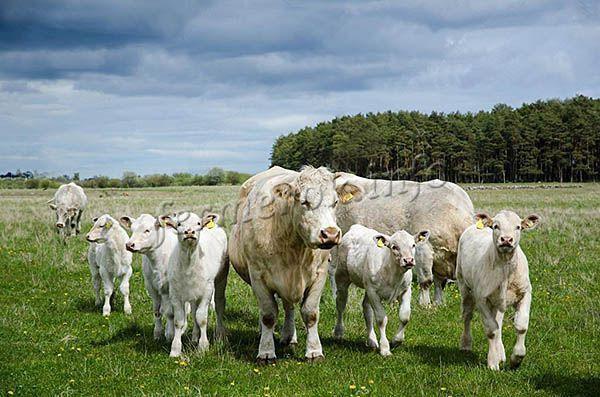 После рождения телята находятся с коровами 8-9 месяцев