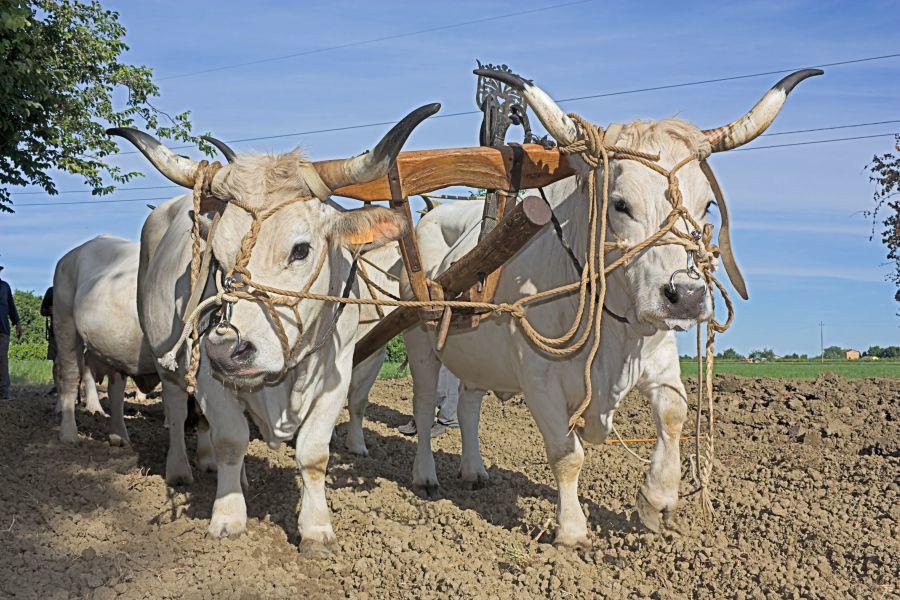 Романьольская порода скота
