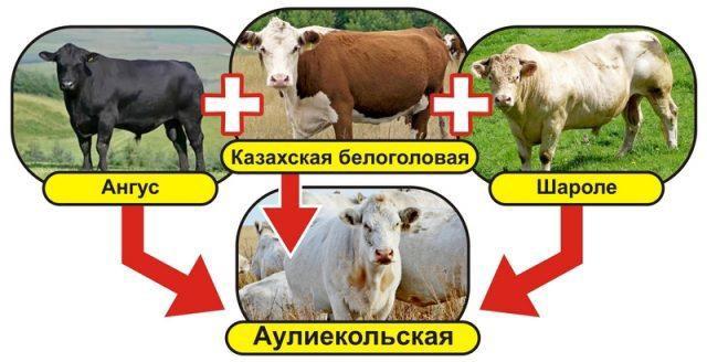 Схема выведения аулиекольской породы скота