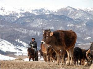 Скот кавказской бурой породы
