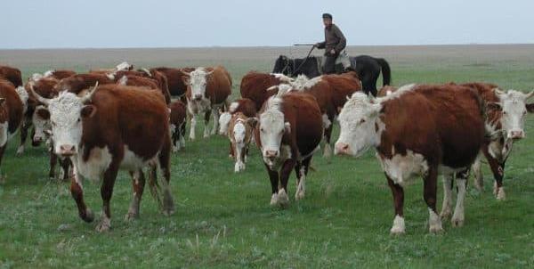 Скот казахской белоголовой породы