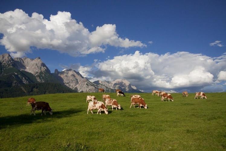 Скот курганской породы на выпасе