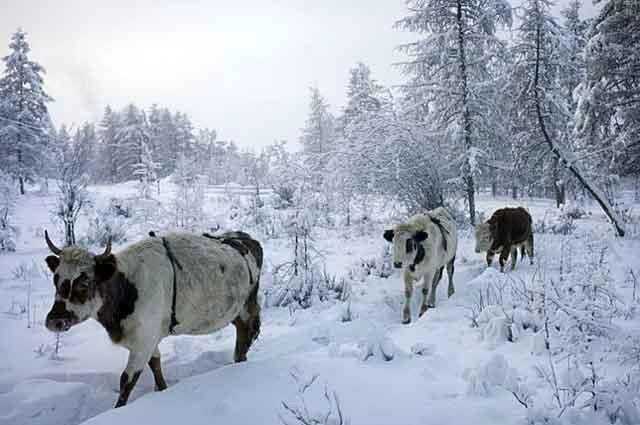 Скот якутской породы