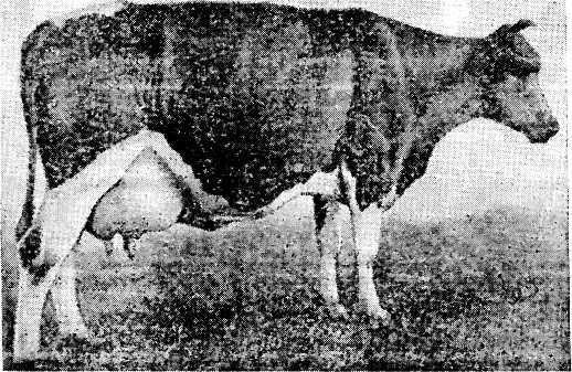 В генотипе коровы Убре Бланка 25% наследственности зебу
