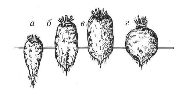 форма корнеплодов свеклы