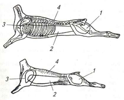 Схема разделки баранины (козлятины) на крупнокусковые полуфабрикаты
